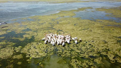 Large flock of great white pelicans on a salt lake in danube delta, aerial view