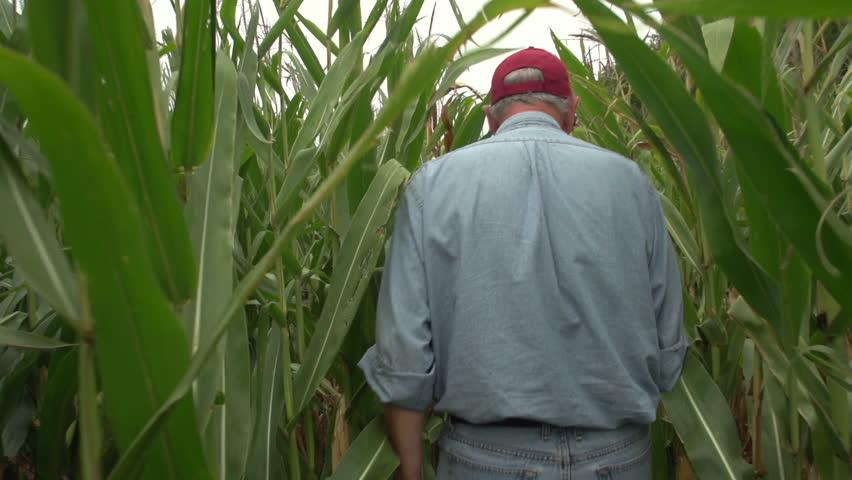 Corn farmer walking through his field away from camera, slow motion