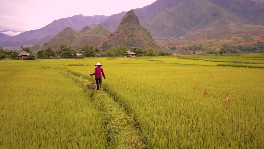 Aerial of farmer working in rice fields, Mu Cang Chai, Vietnam