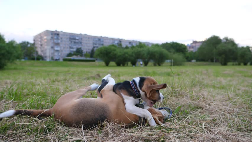 Slow motion shot of two playing dogs, adult beagle wrestle with cute puppy on grass. Animals battle for fun, active recreation of animals, struggle and hug by paws, open jaws and flying long ears | Shutterstock HD Video #28586812