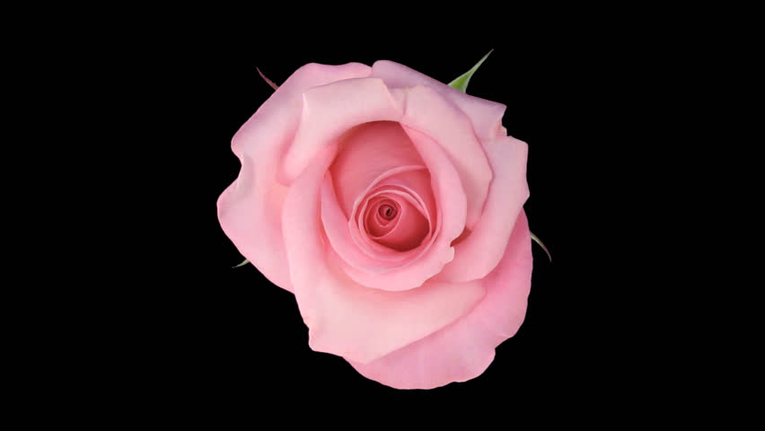"Time-lapse of opening pink ""Blushing Akito"" rose 3x1 in .PNG+ format with alpha transparency channel isolated on black background."