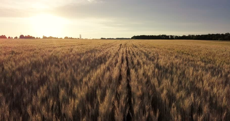 Aerial view. Flight above the ripe golden wheat field at sunrise. Flight forward and up. | Shutterstock HD Video #28683652