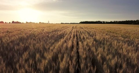 Aerial view. Flight above the ripe golden wheat field at sunrise. Flight forward and up.