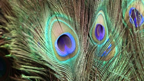 Close up peacock feather in market for tourist at the ghats next to the Ganges River. Varanasi, India