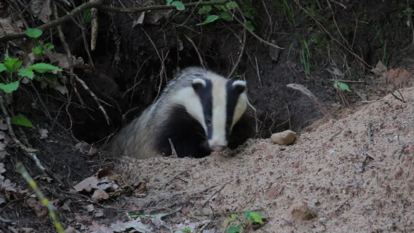 European badger climbs out of his burrow.