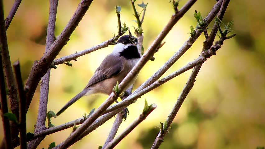 Header of chickadee