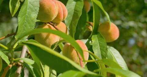 Peach fruits hanging on Peach tree. Close up.
