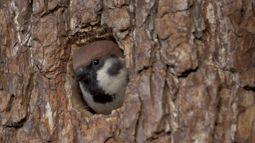 The sparrow builds the nest, Flies into a hollow and flies out