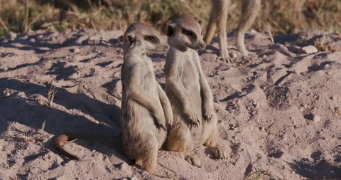 Funny animals.Two cute funny baby meerkats that can't keep their eyes open while sitting and fall over,Botswana