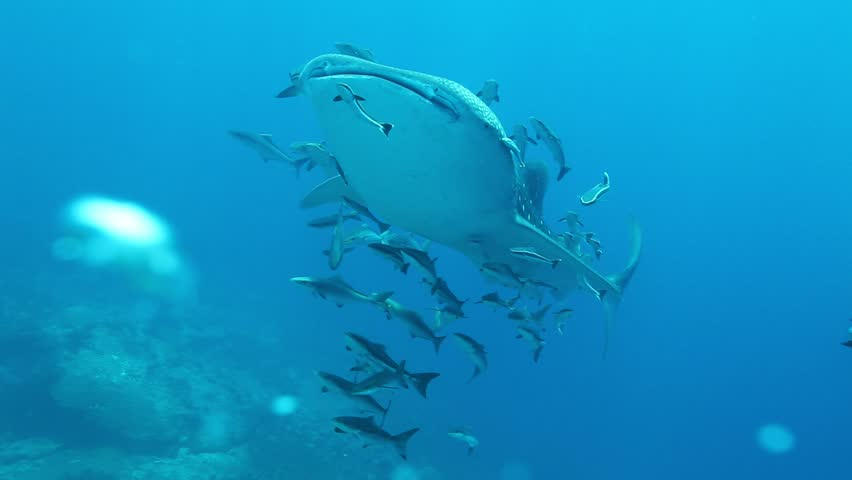 Whale Shark with Remora and Cobia fish swimming pass bubble scuba divers at Mu Koh Surin Marie national Park ,Andaman sea Thailand