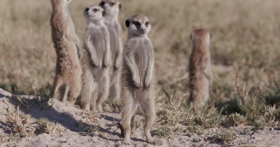 Three cute baby meerkats,one sitting,one sleeping on top of their burrow,Botswana | Shutterstock HD Video #28864312