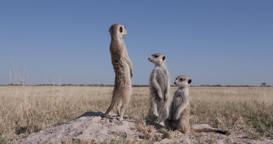 Funny animals.Three cute baby meerkats,one sitting,one sleeping on top of their burrow,Botswana #28864372