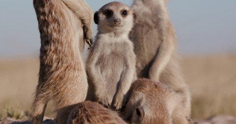 Close-up of meerkats standing ontop of their burrow,one falling over asleep,Botswana