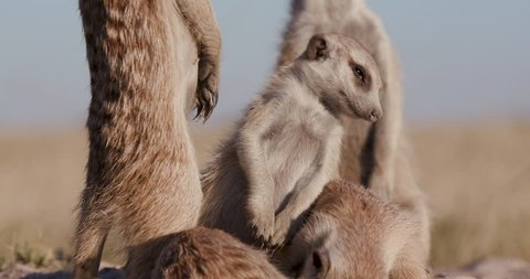 Funny animals. Close-up of meerkats standing on top of their burrow, one falling over asleep, Botswana