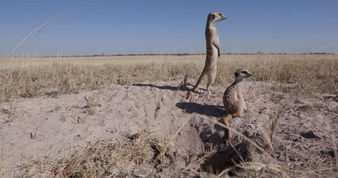 Meerkat family emerging out of burrow and looking out for danger near the burrow,Botswana