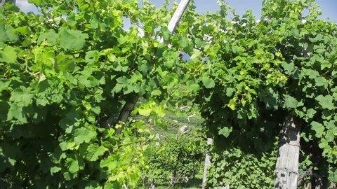 Miane hills covered with vineyards. Prosecco Superiore di Conegliano-Valdobbiadene is a DOCG wine made with Glera grape in the province of Treviso between Vittorio Veneto and Valdobbiadene