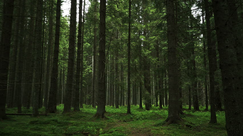 Going inside Forest movement. Forest pattern. traveling camera movement inside the green pine forest. Moths and fir forests with moos on the ground. Green Forest  | Shutterstock HD Video #29023342