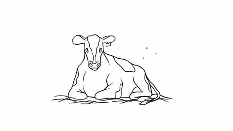 Animation of contour black and white drawing. Calm and phlegmatic young cow lying in the manger, chewing and waving his tail to ward off the annoying flies.