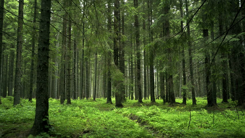 Green Forest. Pine Trees Fairy Forest. Untouched spruce.Elf land. Forest pattern. Camera movement inside the forest. Moths and fir with moos on the ground 4K