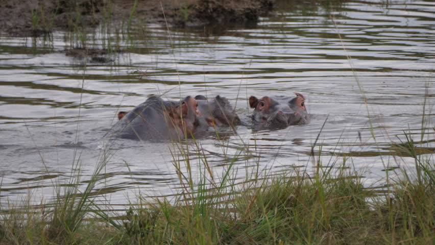 Two Hippos in a waterpool at the Pilanesberg Game Reserve South Africa