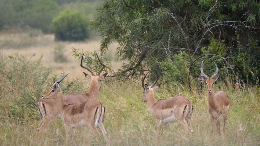 Group of impala in Pilanesberg Game Reserve in South Africa