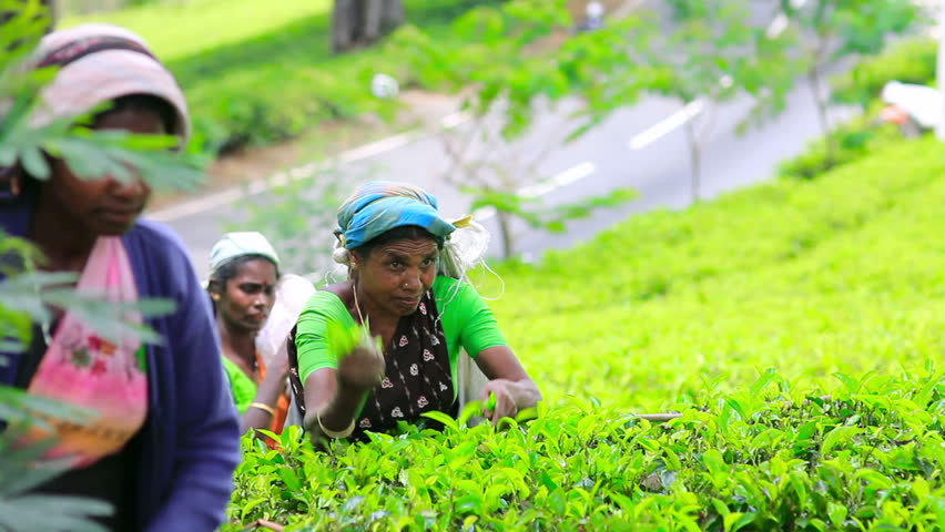 SRI LANKA - MARCH 2012: worker picking tea leaves for consumption