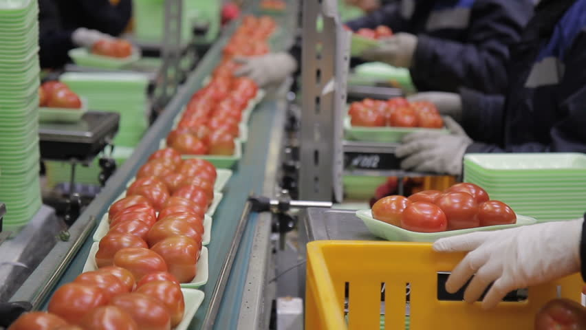 Workers on line of packing fresh tomatoes in trays line inside factory. red fresh vegetables in box. uniform, gloves weigh, watch for transportation, control process indoors. Agricultural products