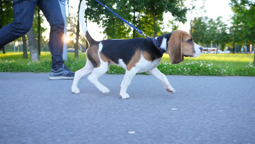 Adorable young dog at walk with man, evening sun shine and flash through trees. Beagle puppy go at city park path, smooth trucking slow motion shot. Doggy put head down and sniff road, long funny ears