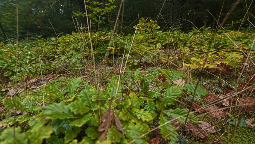Dolly slider footage. Close up panoramic view of mountain meadow overgrown with oak suburb and covered with forest moss.
