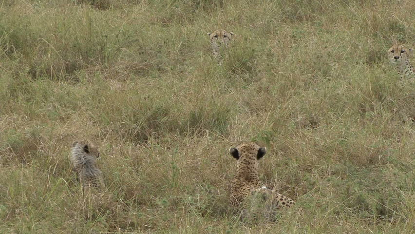 CHEETAH CUBS IN DANGER