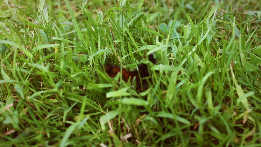 A Woolly Bear Caterpillar crawls along the grass in Pennsylvania field