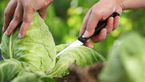 Hands picking a cabbage in vegetable garden, collect and put in wicker basket, close up