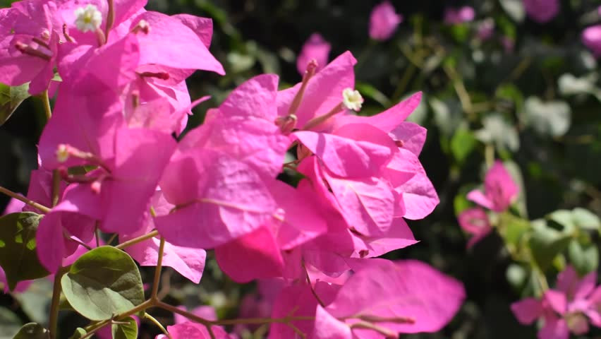 Pink Flowers In A Garden.
