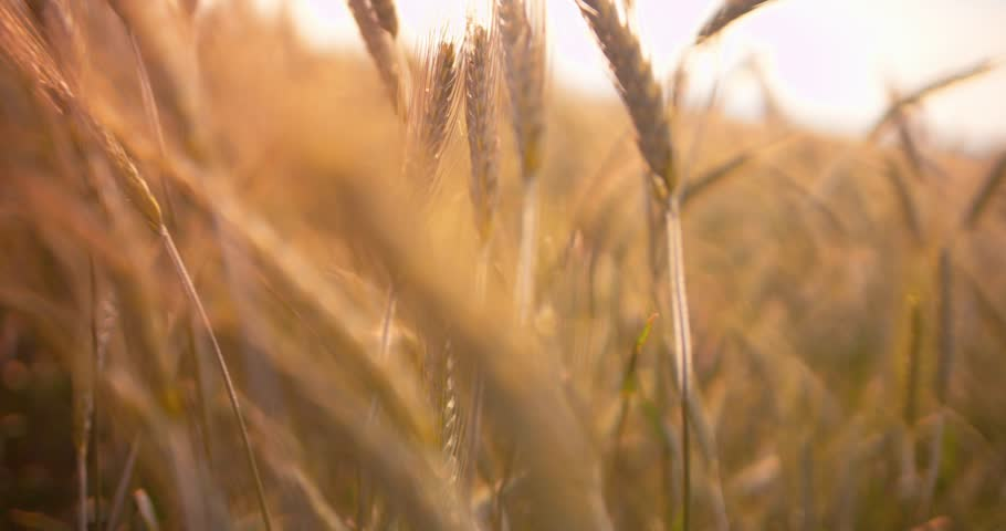 Close up of yellow barley plants in a wheat field at sunset
