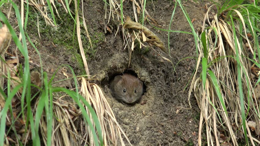 4K Closeup of scared mouse hide in earth hole watching for danger, small mice play
