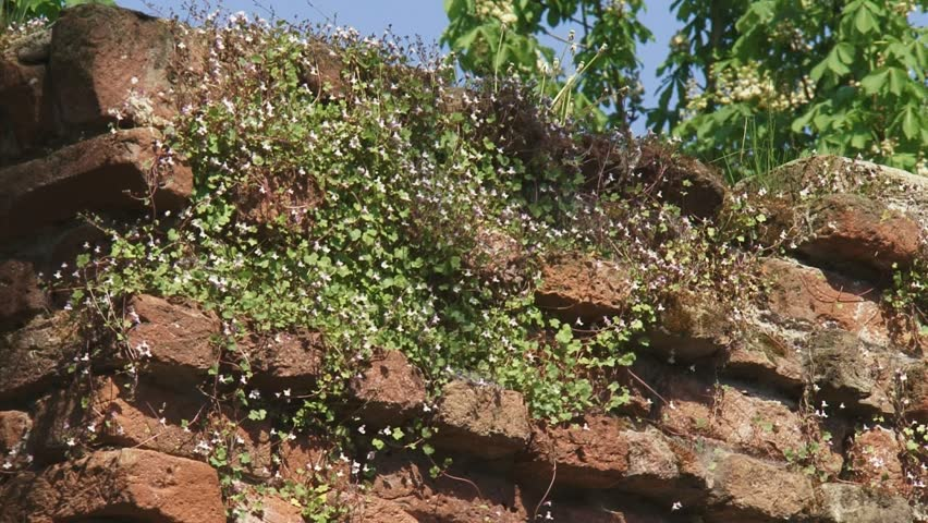flowers Ivy-leaved Toadflax (Cymbalaria muralis) grow between bricks in 14th century city wall of Zutphen, the Netherlands