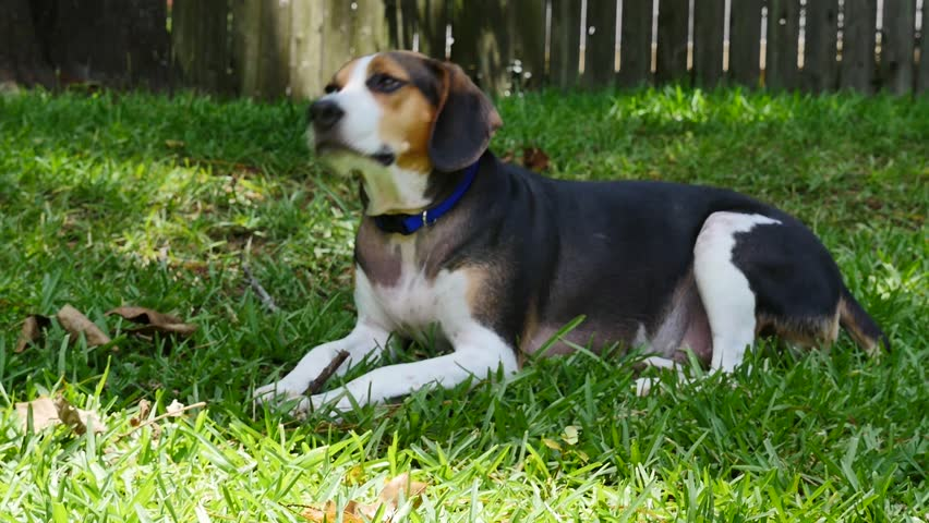 Good Video Beagle Adorable Dog - 1  You Should Have_52137  .jpg