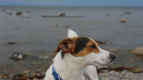 Small dog breed Jack Russell Terrier looks into the distance on the coast. Close-up.