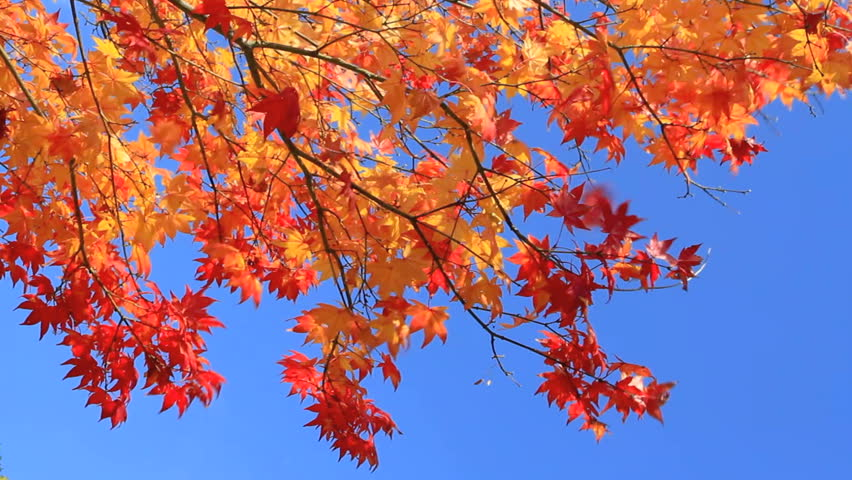 Sunlight on red maple leaves with blue sky in the background.