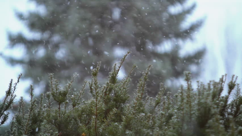 Snowy Evergreen - Rack Focus