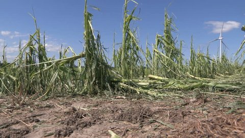 Corn crop damaged and destroyed by hail storm on farm