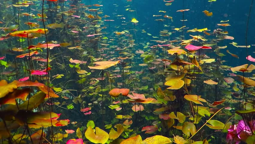 Wild flowers underwater in the fresh water lake. Cenote lagoon with lotus. Underwater plants with colorful leaves. River with water flowers. Swimming or scuba diving between lotus leaves.