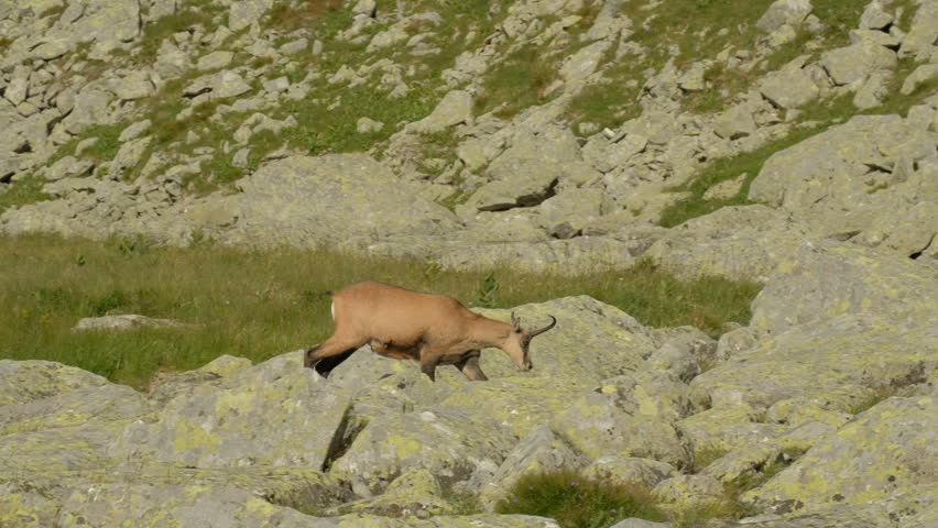 chamois in the mountains of Slovakia