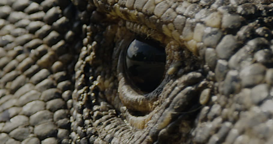 A loop-able 4k close up view of a Dragons eye watching you as his head moves back and forth.