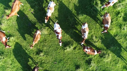 Aerial top-down view flight over meadow with red Holstein Friesians cattle grazing grass showing their long shadows from sundown in grass field these cows are usually used for dairy production 4k