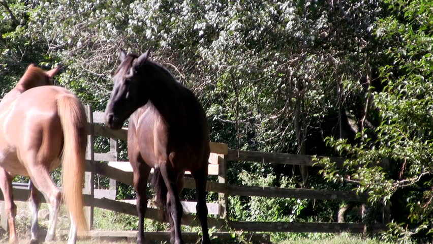 HD 1080 24p; Two horses flirt, play and get frisky in the sunlight on farm with wooden fence corral and tree backdrop