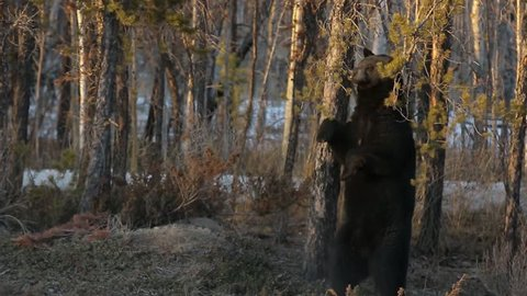 Black Bear standing scratching his back with branches