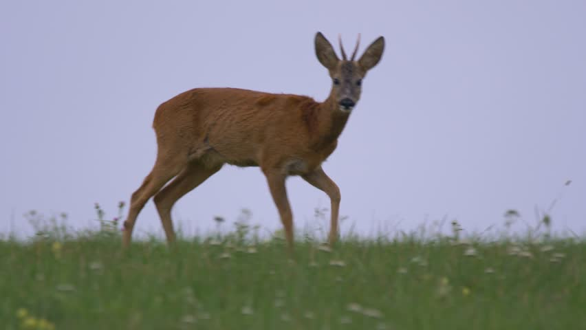 Male roe deer (Capreolus capreolus) in meadow