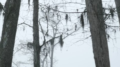 Vultures sitting on dead trees in a very foggy swamp.