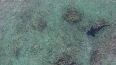 aerial view of a Bull Shark (Carcharhinus leucas). reefs of the Sea of Cortez, Pacific ocean. Cabo Pulmo, Baja California Sur, Mexico. The world's aquarium.